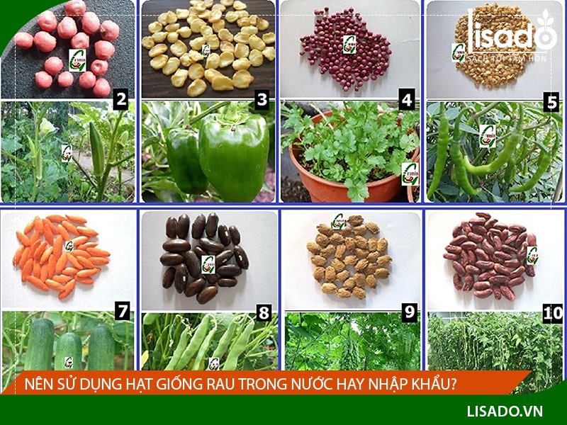 Nên sử dụng hạt giống rau trong nước hay nhập khẩu?