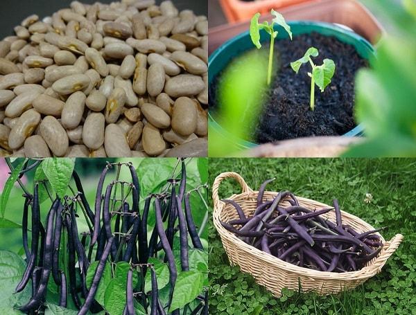Các giống hạt rau ăn quả