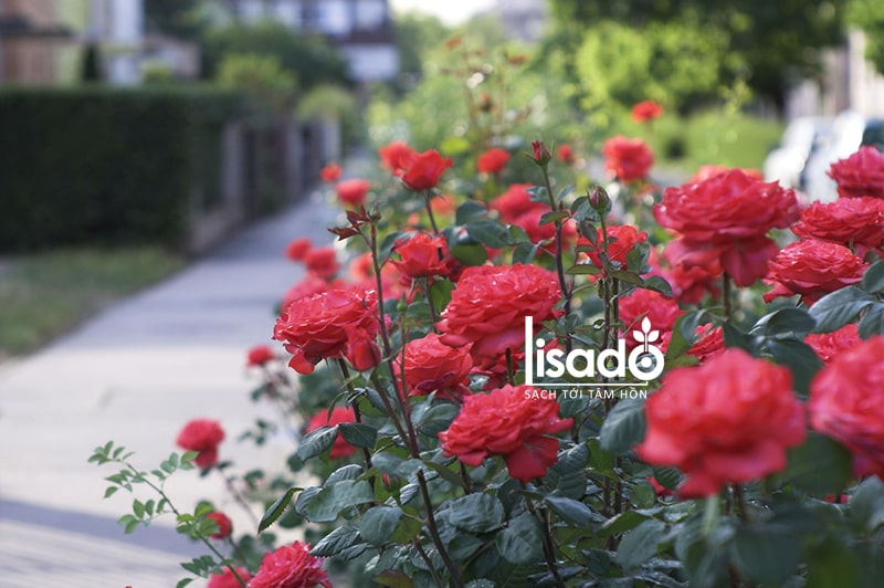 Hoa hồng được trồng nhiều trong mùa xuân