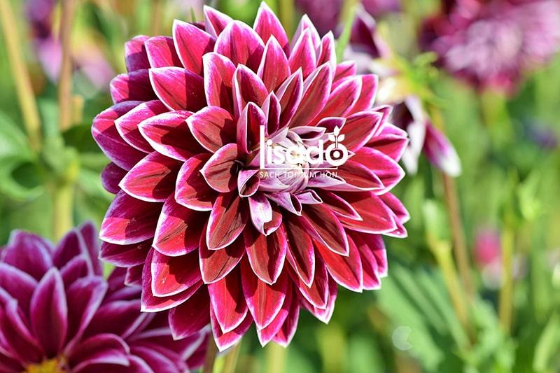 Hạt giống hoa thược dược rất thích hợp trồng dịp Tết