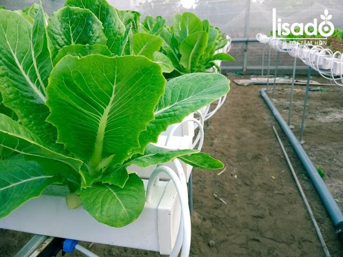 Rau cải được trồng theo phương pháp thủy canh