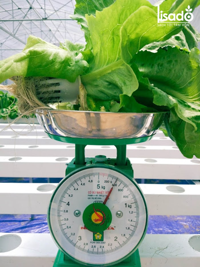 Thu hoạch rau cải thủy canh