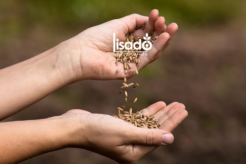 Ưu điểm của hạt giống chất lượng cao