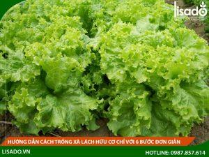 Hướng dẫn cách trồng xà lách hữu cơ chỉ với 6 bước đơn giản