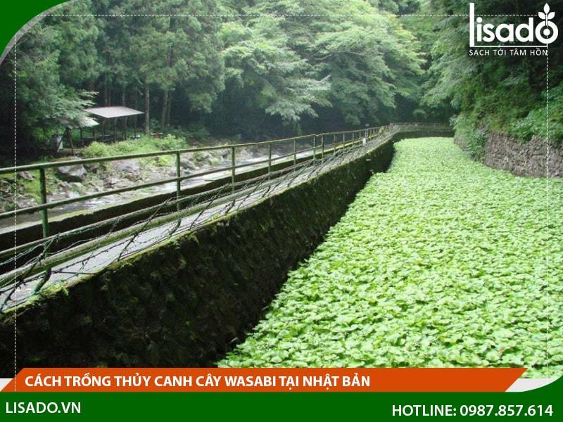Cách trồng thủy canh cây wasabi tại Nhật Bản