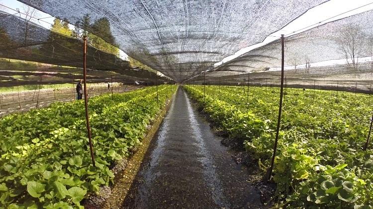 Mô hình trồng cây Wasabi tại Nhật Bản