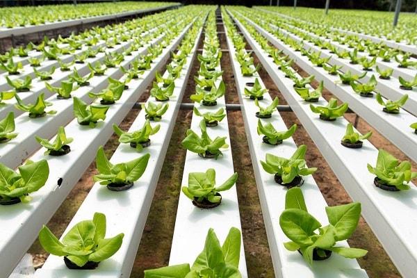 Hệ thống trồng rau thủy canh tại Canada có nhiều ưu điểm nổi bật