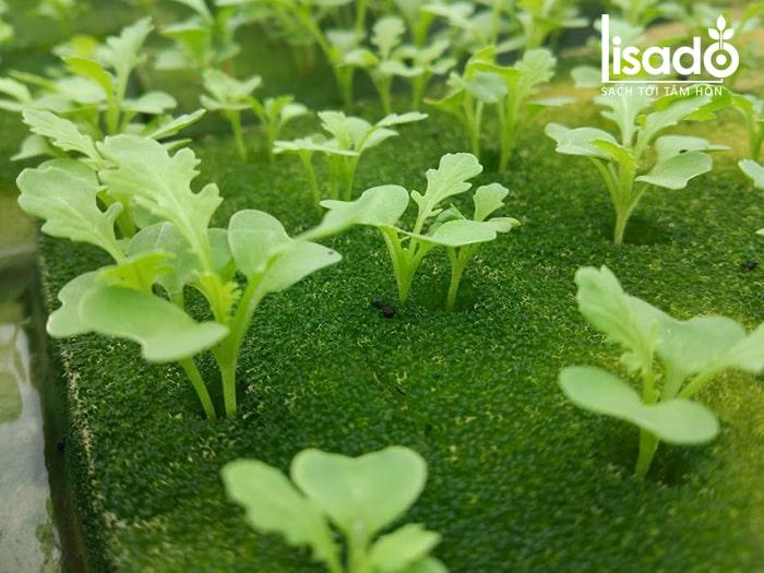 Hạt giống rau cải bó xôi thủy canh nảy mầm