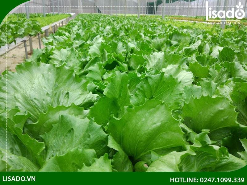 Công trình rau sạch tại Quảng Trị mang đến nhiều lợi ích thiết thực