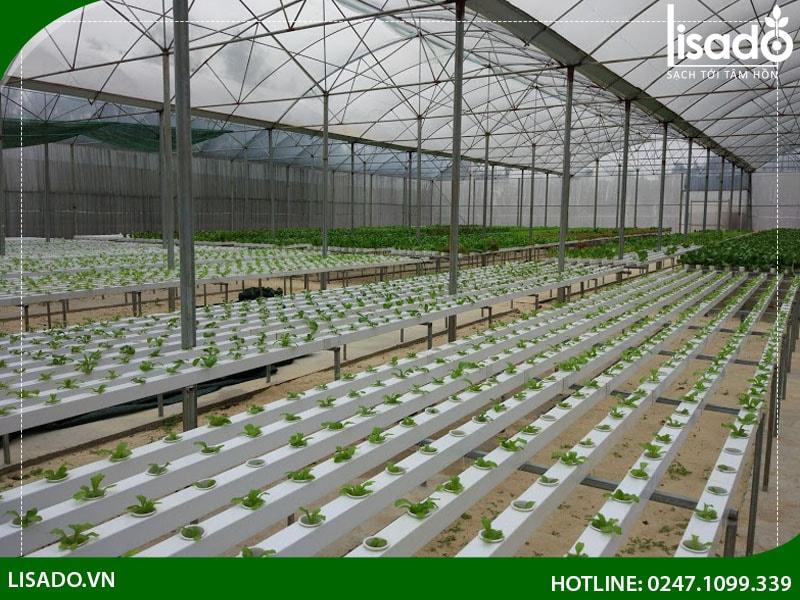 các loại rau giàu dinh dưỡng như các giống xà lách của Hà Lan