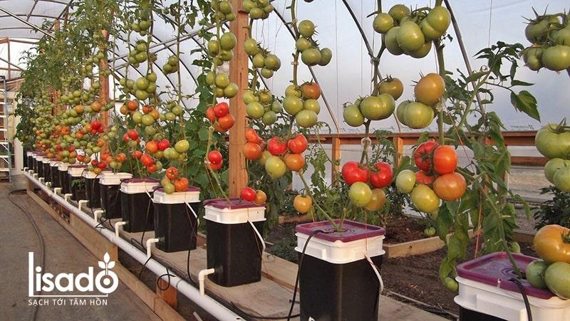 Lưu ý khi trồng cà chua thủy canh