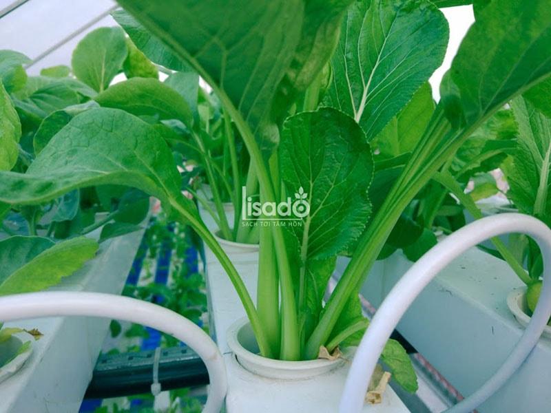 Gieo trồng và chăm sóc rau sạch trên ban công