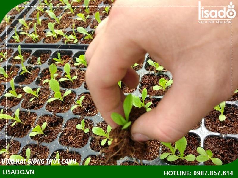 Ươm hạt giống trồng rau thủy canh