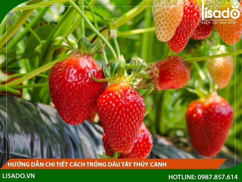 Hướng dẫn chi tiết cách trồng dâu tây thủy canh