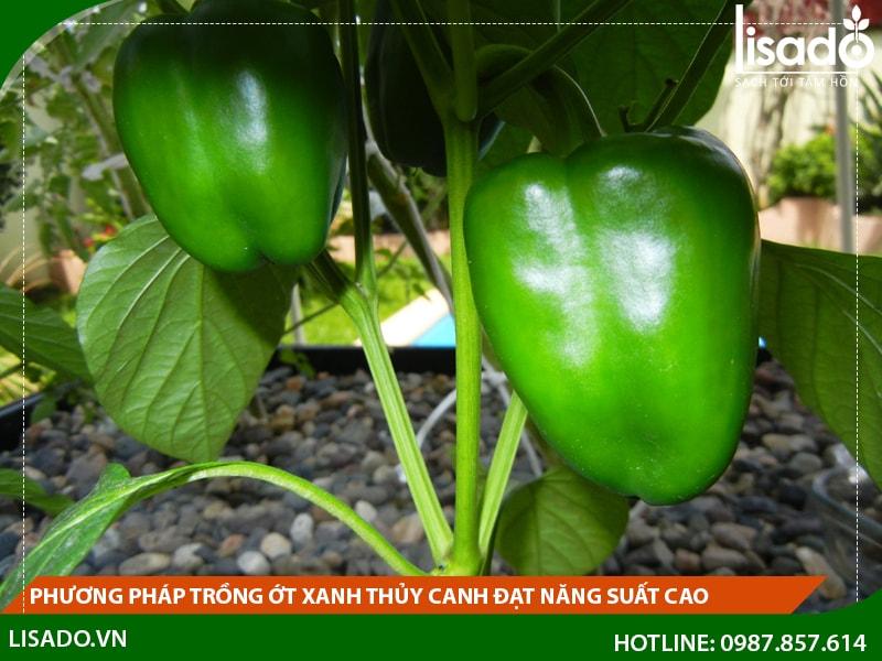 Phương pháp trồng ớt xanh thủy canh đạt năng suất cao