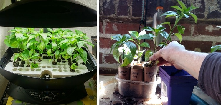 Các bước trồng ớt xanh thủy canh