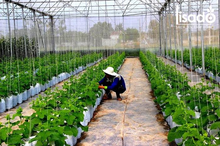 Đất trồng dưa lưới phải được chăm sóc trước khi trồng