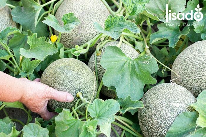 Làm đất trồng dưa lưới cũng rất quan trọng để phòng sâu bệnh