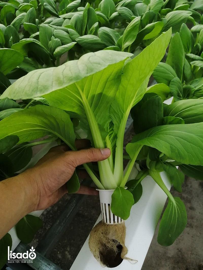 Phân bón thủy canh Grow Master dạng bột cho rau ăn lá