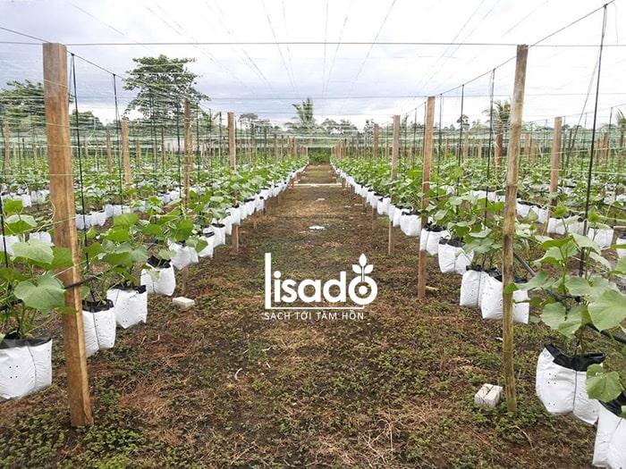 Nên làm đất trước khi trồng dưa lưới để phòng bệnh thối thân