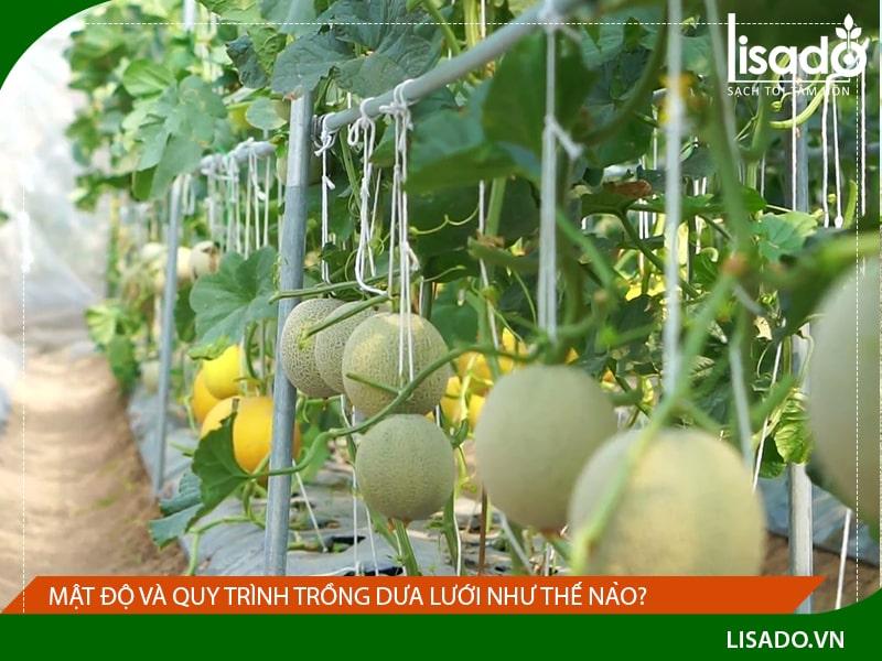 Mật độ trồng và quy trình trồng dưa lưới như thế nào?