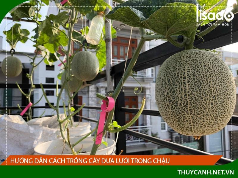 Hướng dẫn cách trồng cây dưa lưới trong chậu