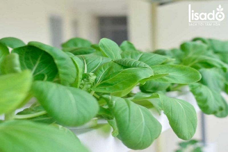Công dụng của rau cải thìa trồng thủy canh