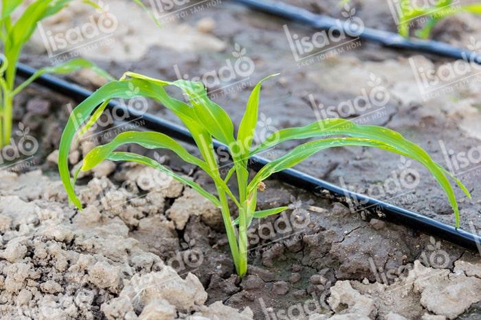 Mô hình trồng ngũ cốc với hệ thống tưới nhỏ giọt Lisado