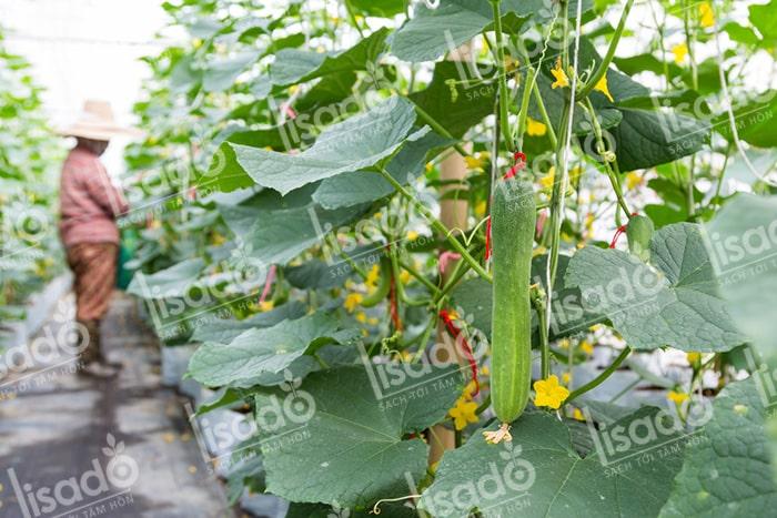 Mô hình trồng dưa leo với hệ thống tưới nhỏ giọt Lisado