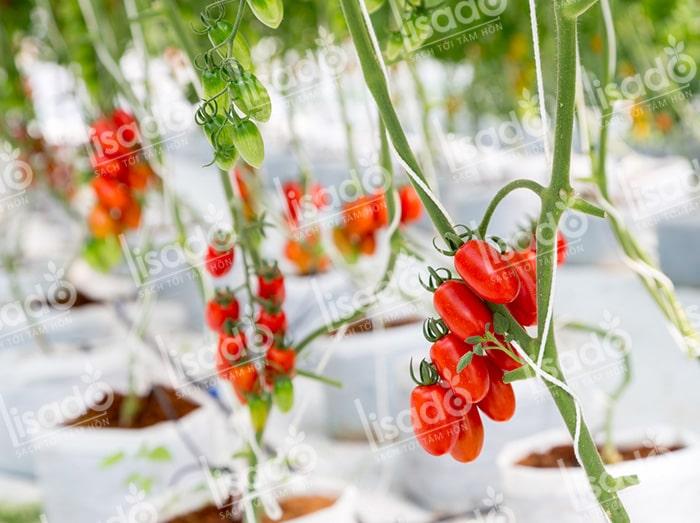 Mô hình trồng cà chua bi với hệ thống tưới nhỏ giọt Lisado