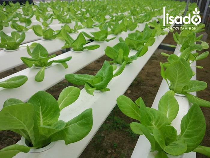 Vườn rau thủy canh tại công trình nhà màng ở Đà Nẵng