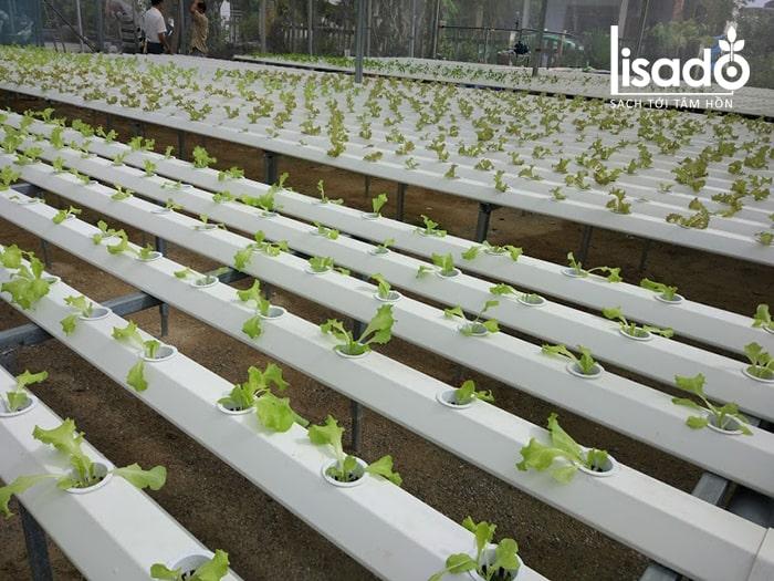Vườn rau xà lách thủy canh tại công trình nhà màng ở Đà Nẵng