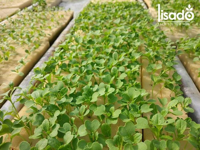 Gieo hạt giống rau thủy canh tại công trình ở Đà Nẵng