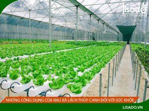 Những công dụng của rau xà lách thủy canh đối với sức khỏe