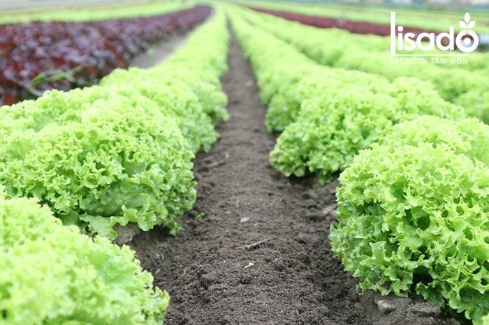 Rau an toàn được trồng trên đất tránh xa môi trường ô nhiễm