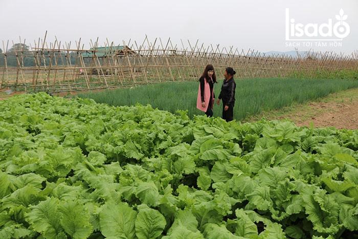 Rau được trồng theo tiêu chuẩn Vietgap