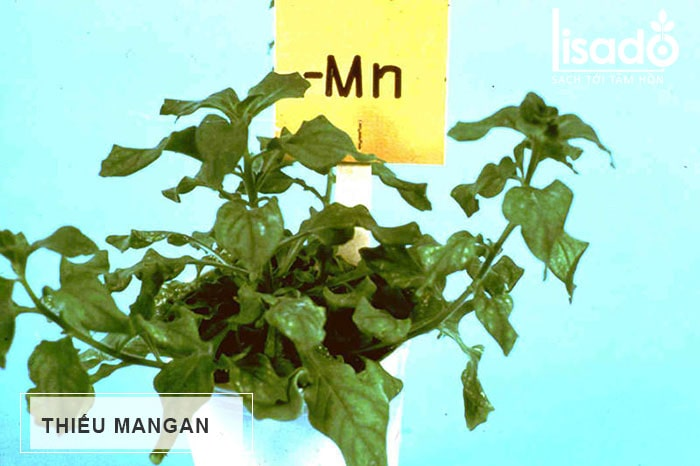 Thiếu Mangan (Mn) trên cây trồng