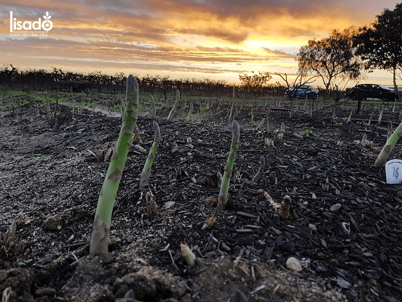 Cách trồng măng tây bằng cây