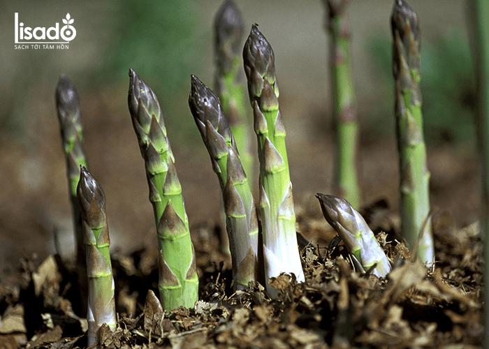 Cách trồng măng tây bằng rễ cho năng suất cao