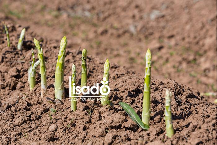 Cách trồng và chăm sóc măng tây hiệu quả