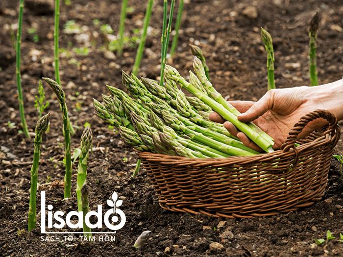 Măng tây phù hợp với loại đất nào? Cách cải tạo đất trồng măng tây
