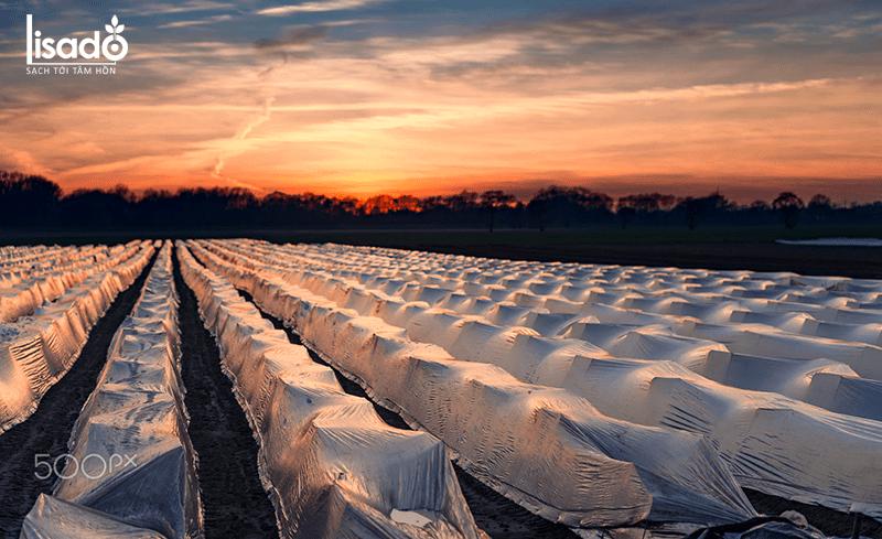 Măng tây có dễ trồng không?