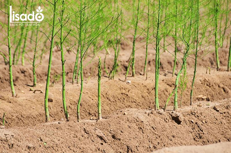 Cách phòng ngừa các loại bệnh hại măng tây