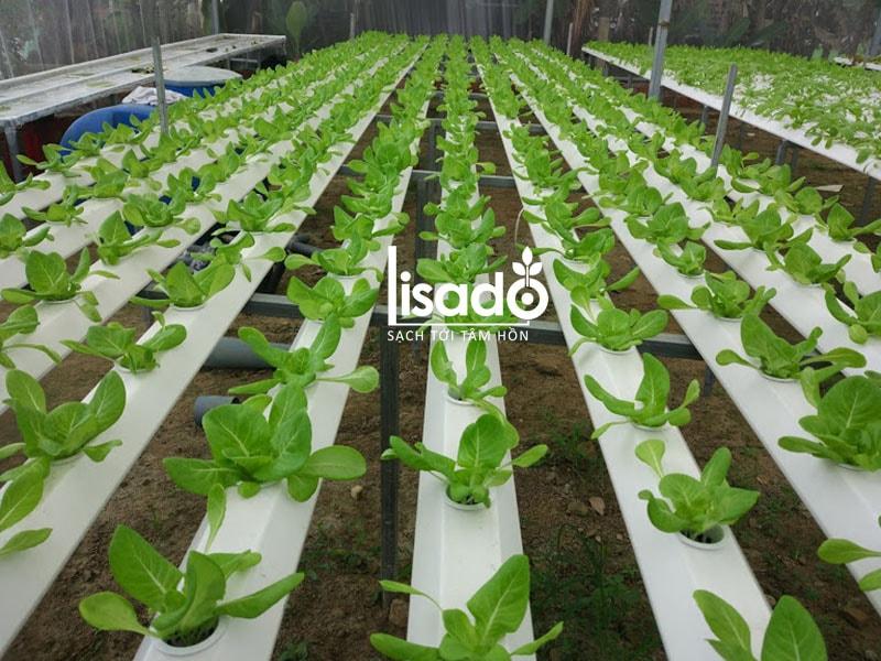 Dự án trồng rau thủy canh 300m2 tại Hòa Vàng, Đà Nẵng