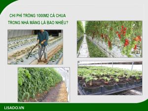 Chi phí trồng 1000m2 cà chua trong nhà màng là bao nhiêu?