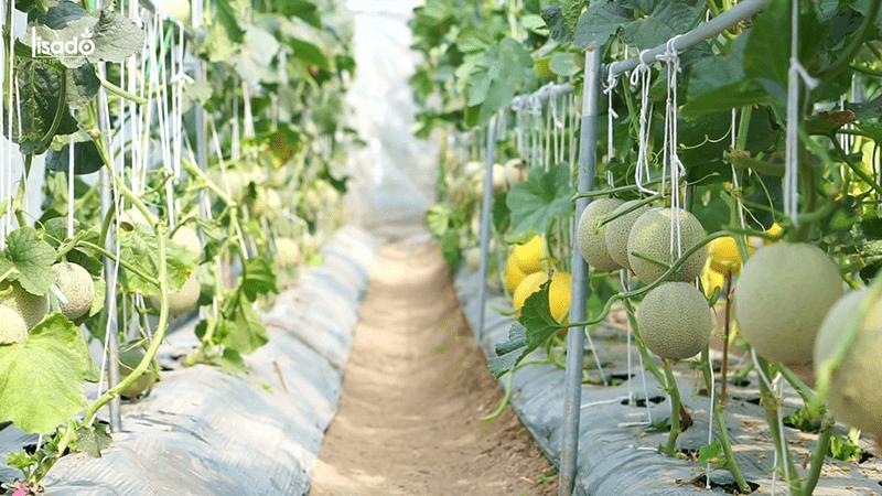 Quy trình kỹ thuật trồng dưa lưới trong nhà màng