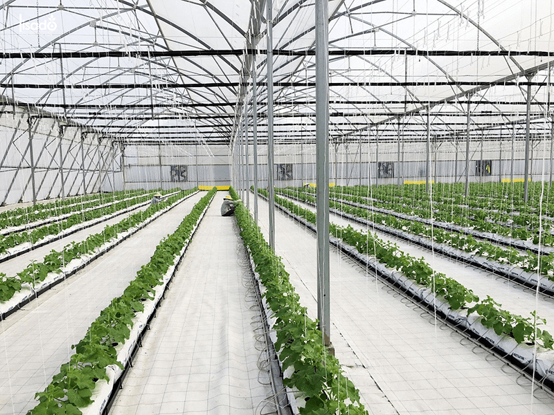 Chăm sóc cây dưa lưới trong nhà màng