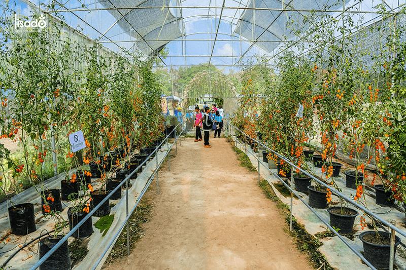 Chăm sóc cây cà chua trồng trong nhà màng