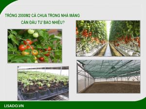 Trồng 2000m2 cà chua trong nhà màng cần đầu tư bao nhiêu?