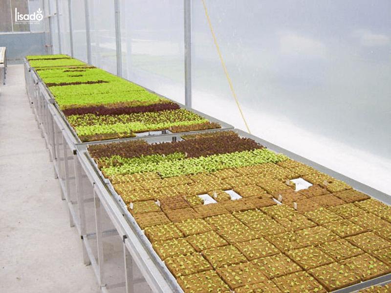 Kỹ thuật trồng rau thủy canh trong nhà màng